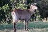 Waterbuck_Mara_Reserve_Asilia__0004