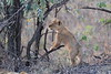 Lion_Cubs_Mara_North_Elewana__0075