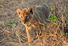 Lion_Cubs_Mara_North_Elewana__0053