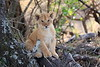 Lion_Cubs_Mara_North_Elewana__0122