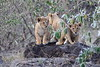 Lion_Cubs_Mara_North_Elewana__0115