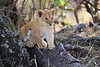 Lion_Cubs_Mara_North_Elewana__0120