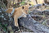 Lion_Cubs_Mara_North_Elewana__0135