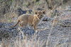 Lion_Cubs_Mara_North_Elewana__0110