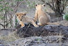 Lion_Cubs_Mara_North_Elewana__0116