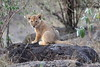 Lion_Cubs_Mara_North_Elewana__0117