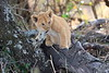 Lion_Cubs_Mara_North_Elewana__0126