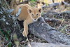 Lion_Cubs_Mara_North_Elewana__0118