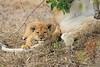Lion_Cubs_Mara_North_Elewana__0539