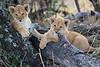Lion_Cubs_Mara_North_Elewana__0165