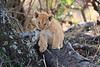 Lion_Cubs_Mara_North_Elewana__0132