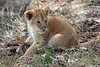 Lion_Cubs_Mara_North_Elewana__0436