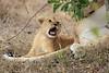 Lion_Cubs_Mara_North_Elewana__0552