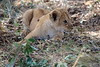 Lion_Cubs_Mara_North_Elewana__0389