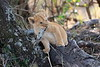 Lion_Cubs_Mara_North_Elewana__0134