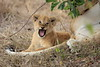 Lion_Cubs_Mara_North_Elewana__0556
