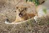 Lion_Cubs_Mara_North_Elewana__0550