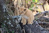 Lion_Cubs_Mara_North_Elewana__0129