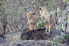 Lion_Cubs_Mara_North_Elewana__0114