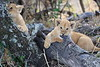 Lion_Cubs_Mara_North_Elewana__0166