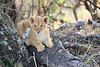 Lion_Cubs_Mara_North_Elewana__0119