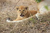 Lion_Cubs_Mara_North_Elewana__0541