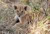 Lion_Cubs_Mara_North_Elewana__0432