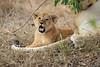 Lion_Cubs_Mara_North_Elewana__0549
