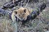 Lion_Cubs_Mara_North_Elewana__0270