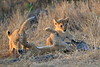 Lion_Cubs_Mara_North_Elewana__0057