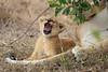 Lion_Cubs_Mara_North_Elewana__0554