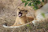 Lion_Cubs_Mara_North_Elewana__0555