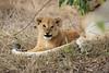 Lion_Cubs_Mara_North_Elewana__0551