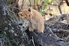 Lion_Cubs_Mara_North_Elewana__0124