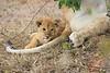 Lion_Cubs_Mara_North_Elewana__0535