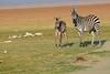 Zebra_Amboseli_Elewana__0005