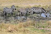 Zebra_Mara_North_Elewana__0004