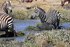 Zebra_Mara_North_Elewana__0007