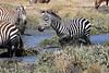 Zebra_Mara_North_Elewana__0008