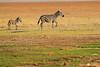 Zebra_Amboseli_Elewana__0014
