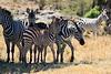 Zebra_Mara_Reserve_Asilia__0002