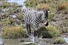 Zebra_Mara_North_Elewana__0003