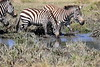 Zebra_Mara_North_Elewana__0009