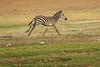 Zebra_Amboseli_Elewana__0013
