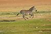 Zebra_Amboseli_Elewana__0011