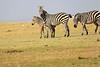 Zebra_Amboseli_Elewana__0016