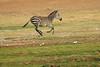 Zebra_Amboseli_Elewana__0012