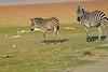 Zebra_Amboseli_Elewana__0006