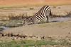 Zebra_Amboseli_Elewana__0008