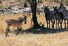 Zebra_Mara_Reserve_Asilia__0001